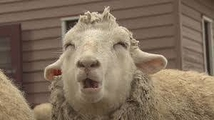 羊同盟さん